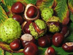 horse chestnut Horse Chestnut for Hemorrhoids Treatment picture
